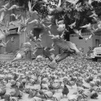 The Pigeons of Jaipur